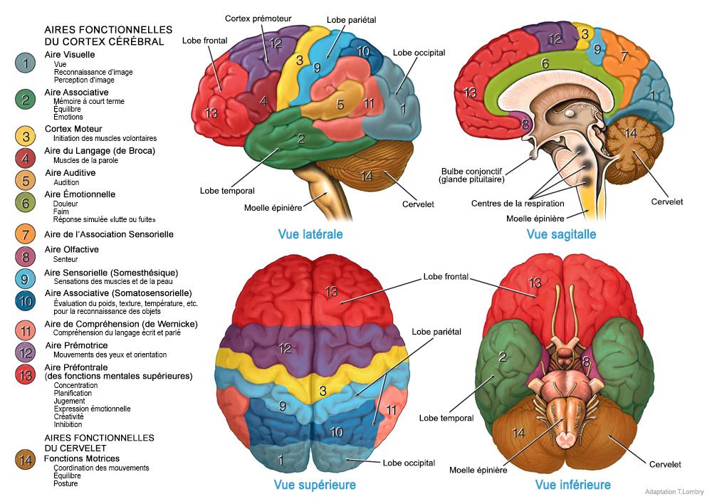 L'anatomie du corps humain