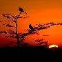 Corneilles sur un Cypres au lever du Soleil dans le parc des Everglades en Floride. Photo W.Chan.