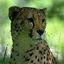 Guepard- d'Afrique du Sud. Photo Smithsonian National Zoological Park.