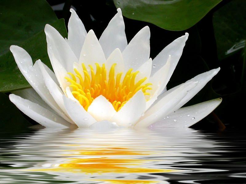 L 39 eau dans le monde - Fleur de lotus bouddhisme ...