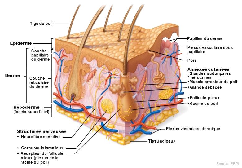 foie schéma corps humain