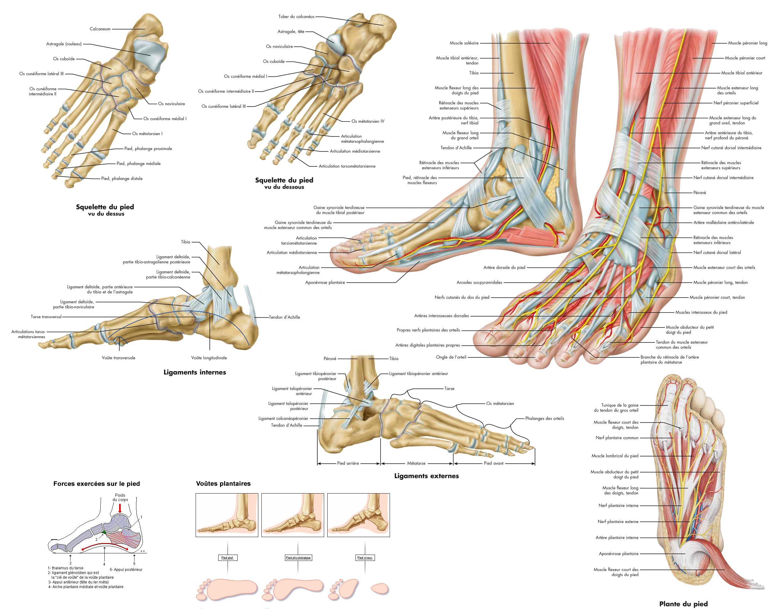 Großartig Anatomie Und Physiologie Des Armes Zeitgenössisch ...