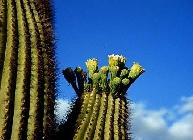 Fleur de cactus Saguaro épanouies dans le désert de Sonoran Desert (SE Californie), SE Arizona jusque NO Mexique. Document Jim Bremner.