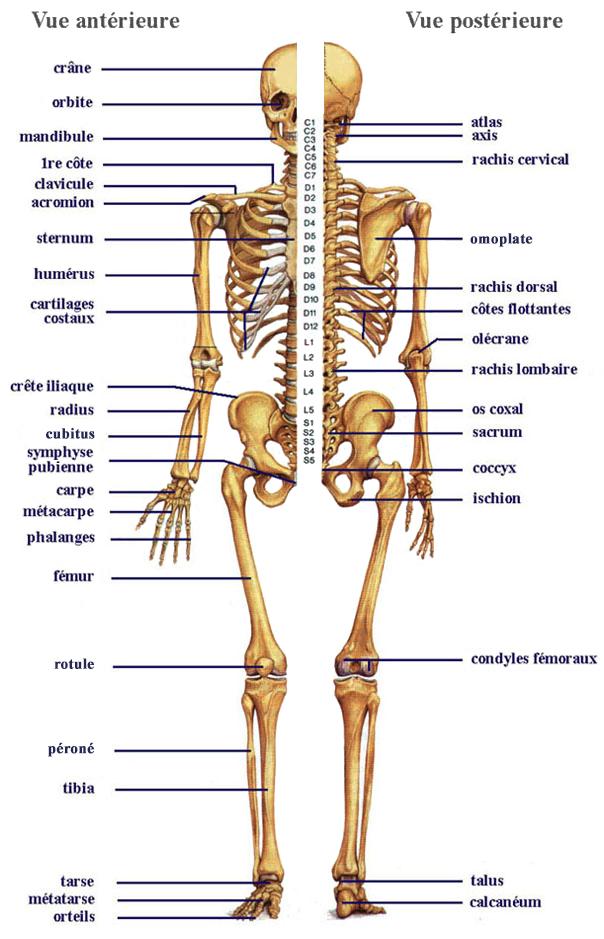 Biologie humaine - Anatomie du squelette 92d02acc03c