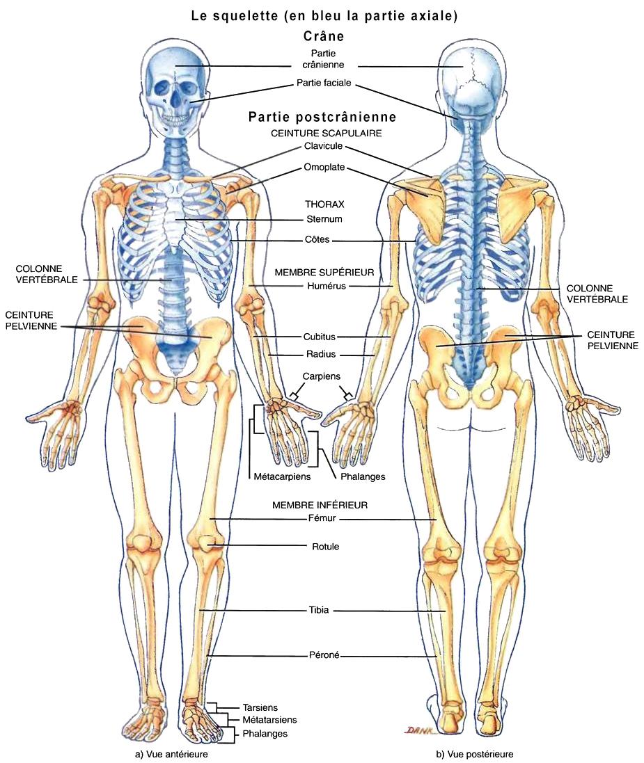 Biologie Humaine Anatomie Du Squelette