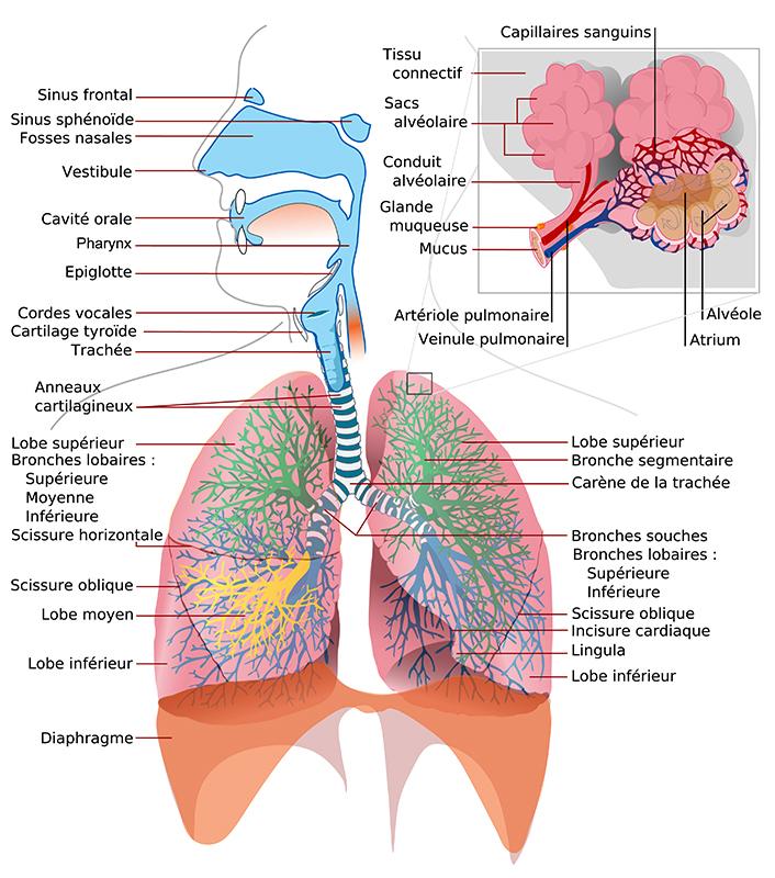 role physiologique cils et mucus bio