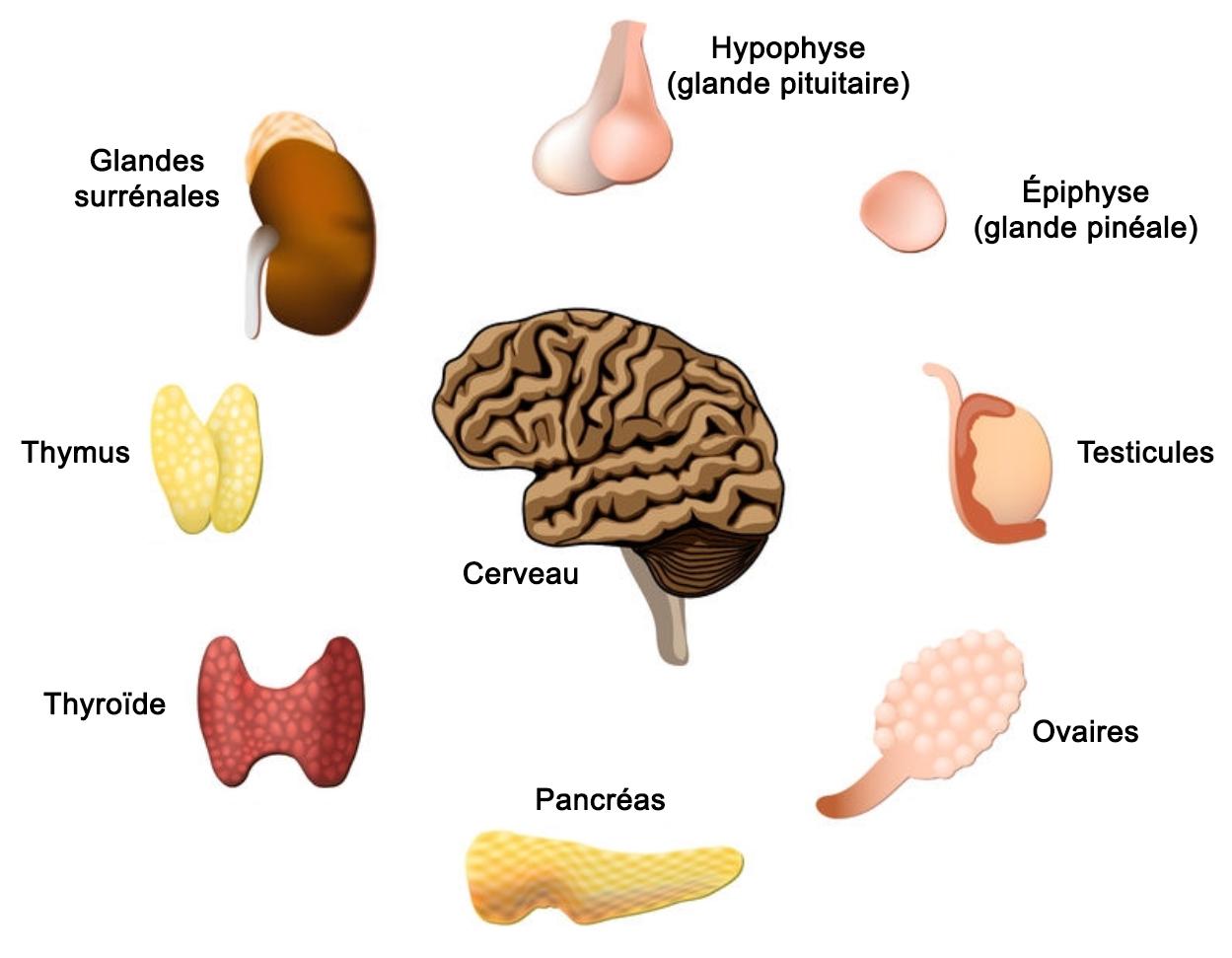 glandes du corps humain