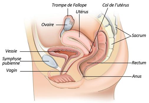 L Anatomie Du Corps Humain
