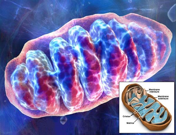 Respiration Mitochondriale