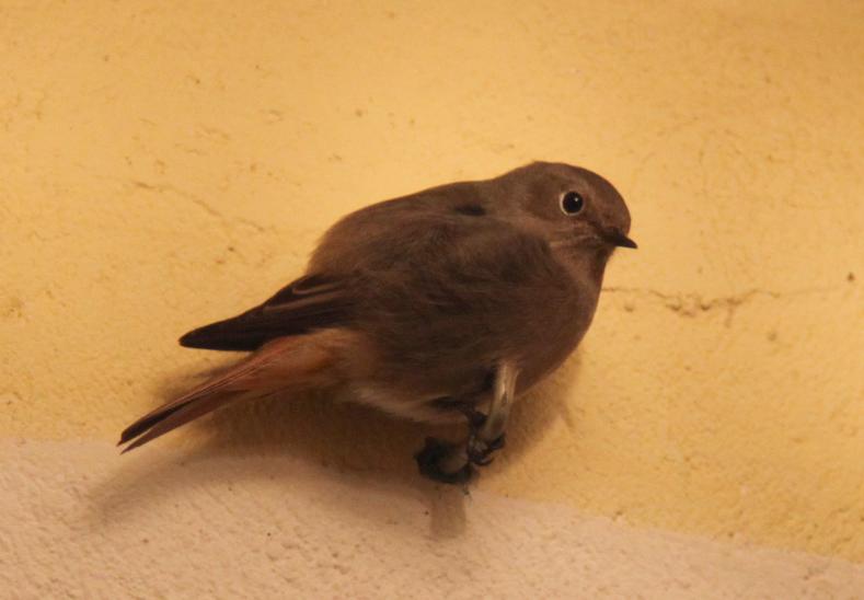 Quel est cet oiseau forums d 39 astronomie webastro for Oiseau marron