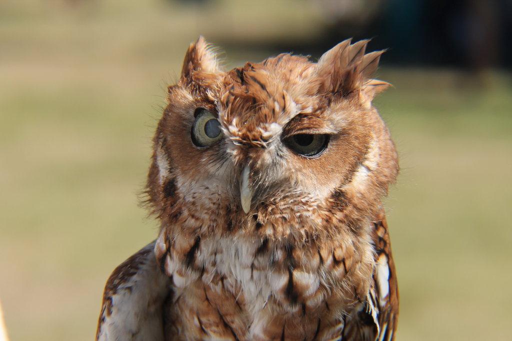 tired_owl_6_by_styxthegargoyle-d6nfx41.jpg.4b8450300c86e0b81e77671d6b2ec3fc.jpg