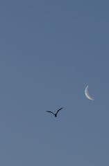 la lune , au matin du 11/05/2018 (42659/71/95/716.JPG)