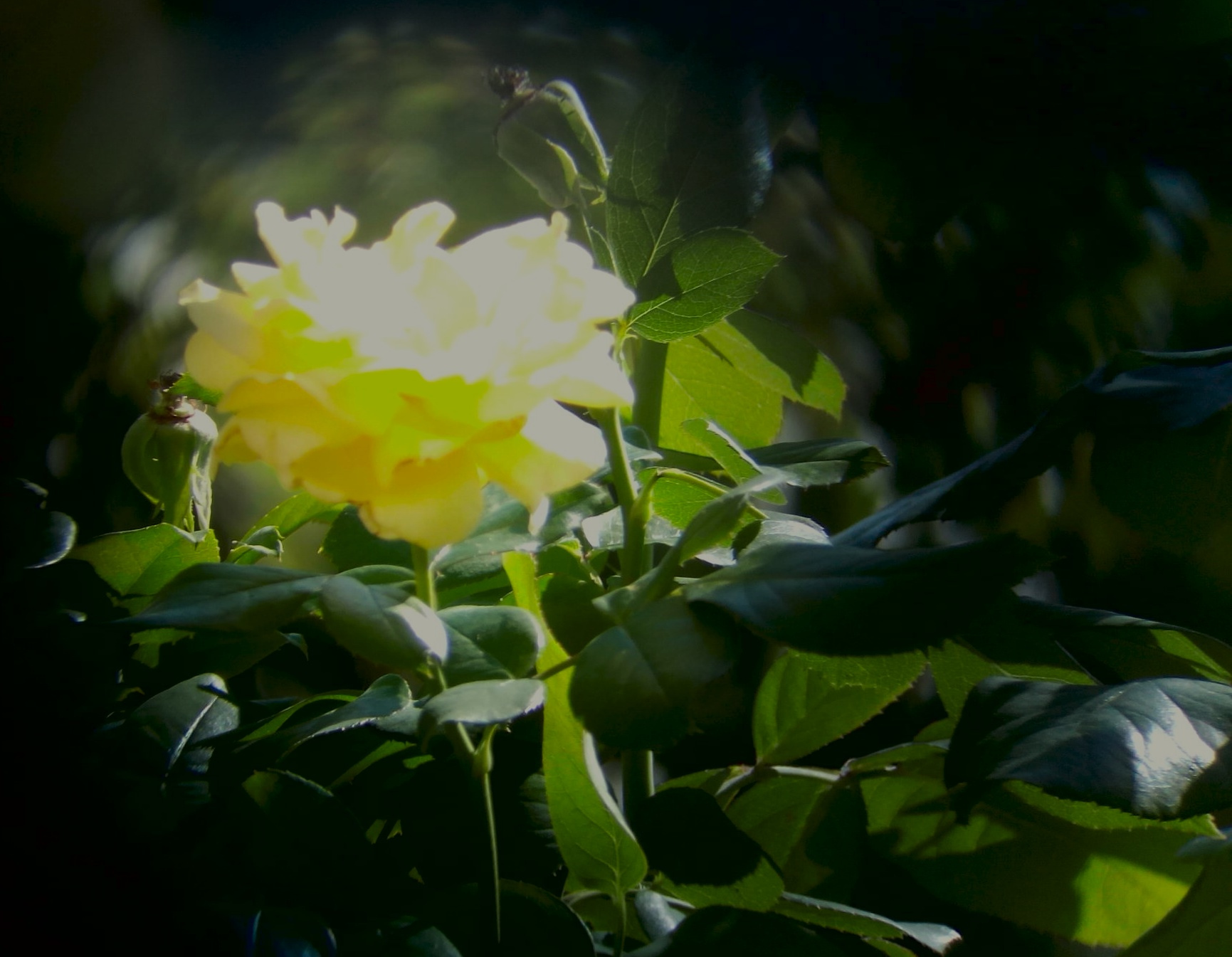 rose-jaune_20180911_154709_3.jpg.5677e76161ccb59895e98a61e9c297f7.jpg