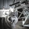 Canis lupus sous la coupole !.jpg