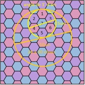 sur-echantillonage-oeil_hexagonal.jpg.00ddabd2572a4464832861258c6f0af4.jpg